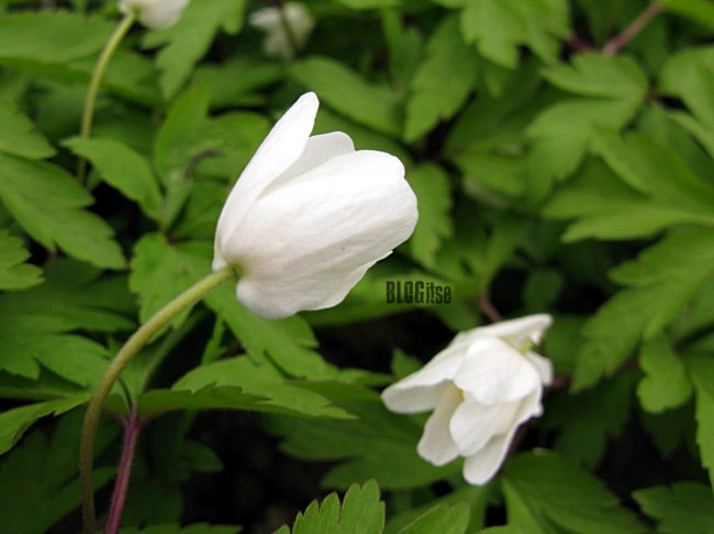 wood anemones (Anemone nemorosa) by BLOGitse