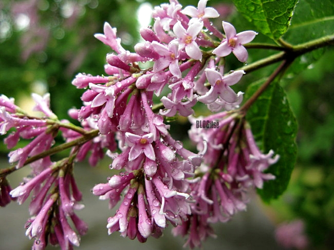 Lilac Sireeni by BLOGitse