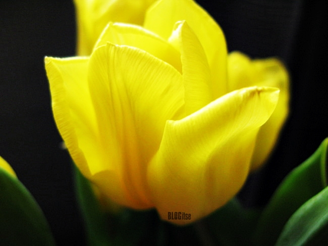 yellow tulip by BLOGitse