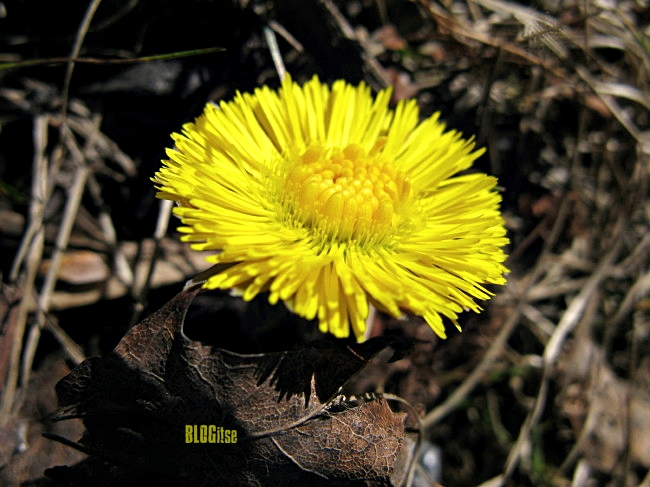 Tussilago farfara, Coltsfoot by BLOGitse