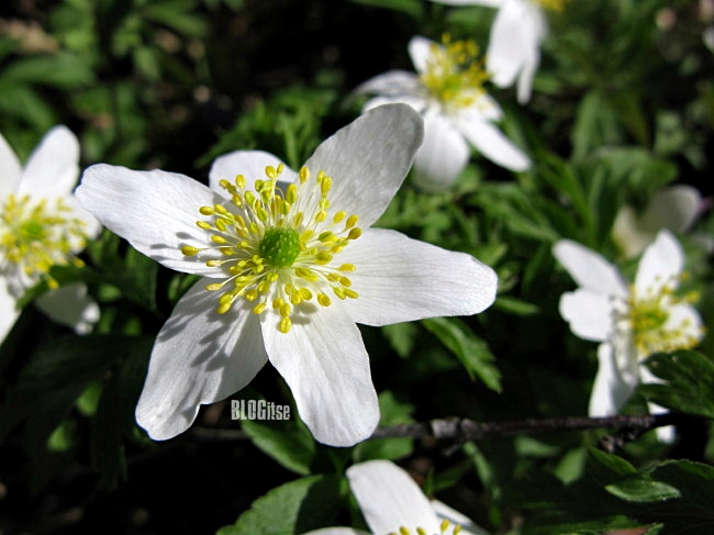 wood anemones by BLOGitse