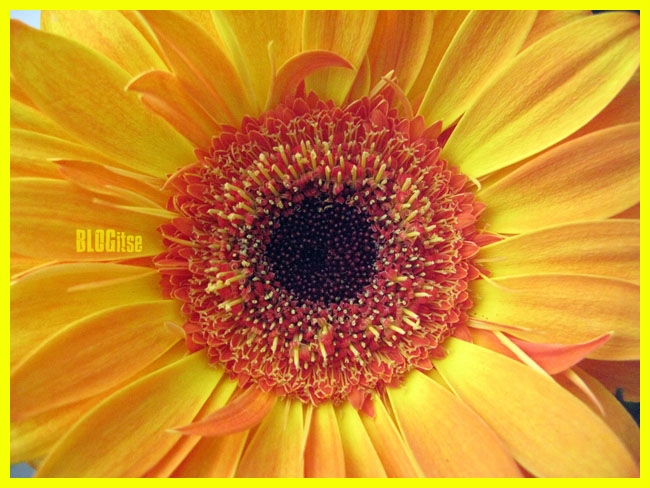 yellow gerbera by BLOGitse