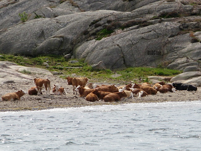 relaxing cows Gullbringa Sweden by BLOGitse