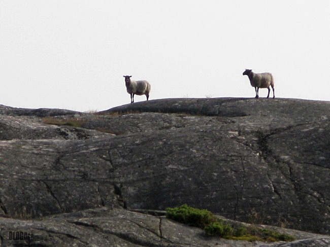 sheep on top Gullbringa Sweden by BLOGitse