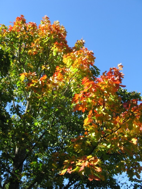 maple tree by BLOGitse