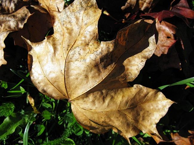 maple tree leaf by BLOGitse
