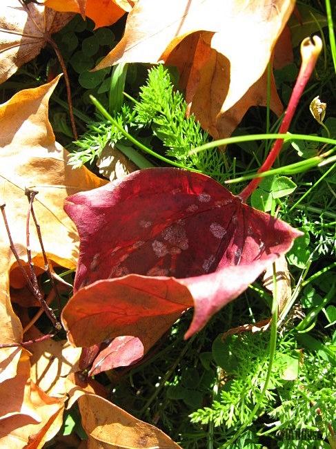 maple tree leaves by BLOGitse