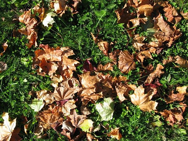 maple tree leaves_2 by BLOGitse