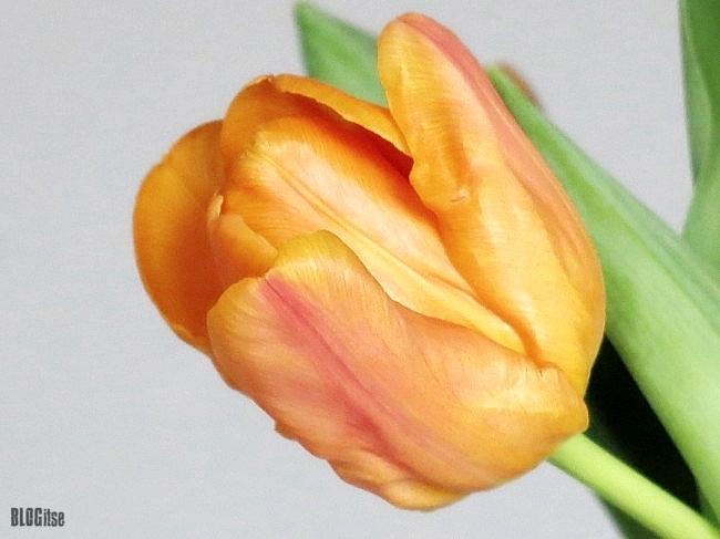 orange tulip by BLOGitse