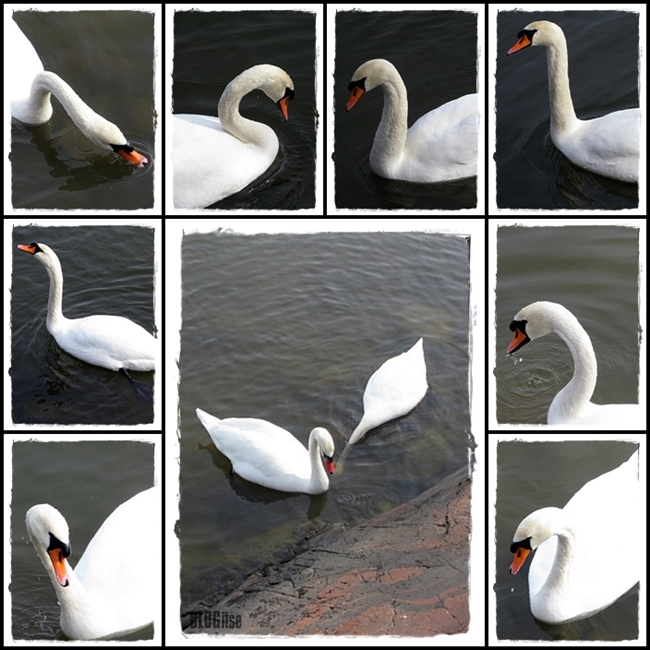 Mute Swan by BLOGitse