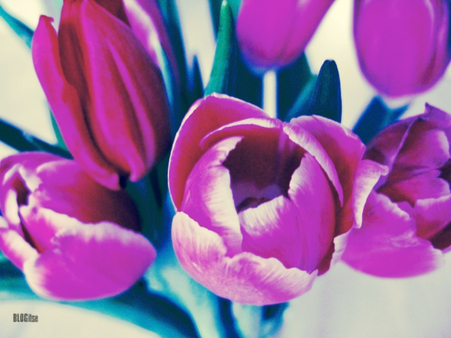 colored tulips by BLOGitse
