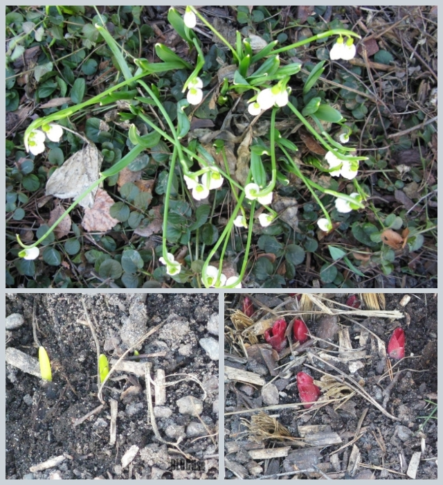 buds and snowdrops March 2017 by BLOGitse