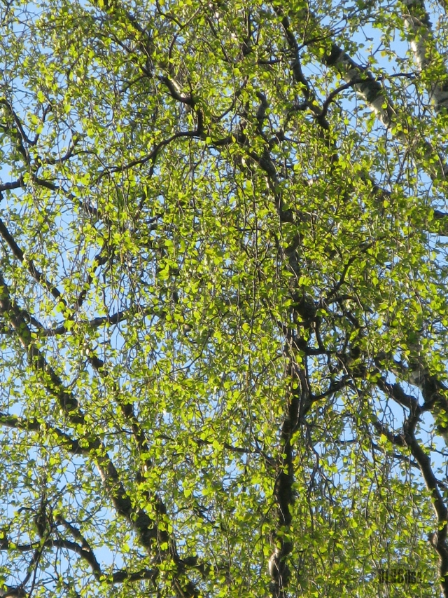 spring green birch by BLOGitse